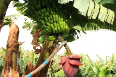 Bananenstaude-lapalma